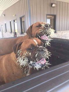 Dos perros y un puercoespín