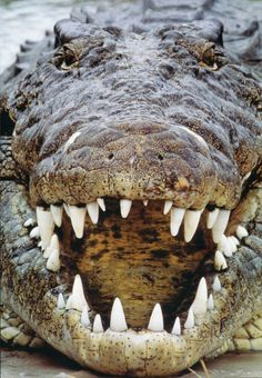 Very deadly and rather enormous and hungry looking crocodile