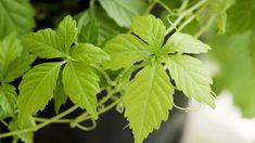 obrázek z archivu ireceptar.cz Kraut, Plant Leaves, Herbs, Plants, Food, Medicinal Plants, Health And Fitness, Nature, Essen