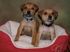 My foster pups - George and Fielder - available for adoption!!    BUCKET DROP PUPPIES! During an ARF bucket drop fundraiser a litter of eight newborn puppies were literally dropped in the arms of a...
