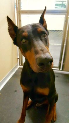 Caesar! #CutenessOverload while waiting for his treat! #DogBoarding #Doberman #MePlease #RegalDog
