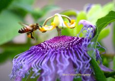 Passion Flower and a honey bee collecting the nectar