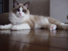 Ragdoll Cats | Ragdoll Cute Cats | Cute Cats ah!! This looks exactly like my cat!! Except he's just a snowshoe so he's much bigger than a rag doll.
