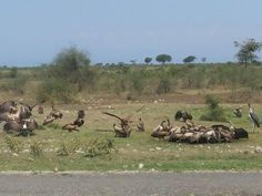 Different species of vultures and a Marabou Stork standing on the right