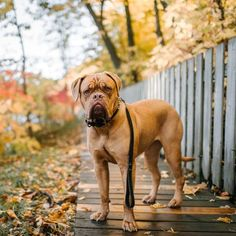 People mistakenly think Mastiffs aren't very intelligent because they're very laid back. Chihuahua Puppies, Baby Puppies, Dogs And Puppies, Shelter Dogs, Animal Shelter, Animal Rescue, Dumb Dogs, Alpha Dog, Easiest Dogs To Train