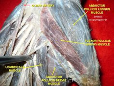 Thenar Eminence Muscles Click to learn more