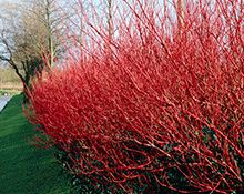 Red Twig Dogwood Shrub for Sale | Fast Growing Trees