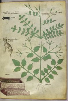 """Tractatus de Herbis (ca.1440) Selections from a beautifully illustrated 15th century version of the """"Tractatus de Herbis"""", a book produced to help apothecaries and physicians from different linguistic backgrounds identify plants they used in their daily medical practise. No narrative text is present in this version, simply pictures and the names of each plant written in various languages. miniature of plants, a rat, a cat and a human corpse."""