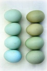 Eggs, gradient, duck egg