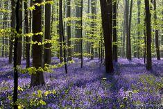 Floresta Bélgica 10