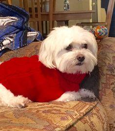 Bentley in his Christmas sweater ❤️ ❤️ my #maltese!!! #DogChristmas