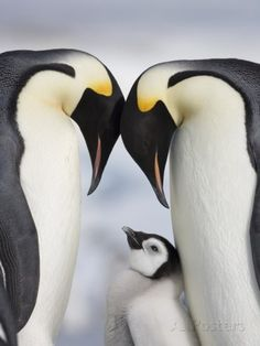 Emperor Penguins and Chick in Antarctica Photographic Print by Paul Souders at AllPosters.com