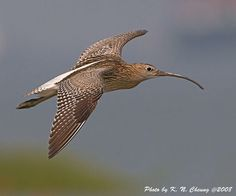 curlew flock - Google Search