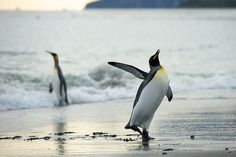 penguins dancing?