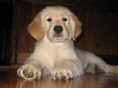 Golden Retriever puppy     ...for Dog Training DVDs  click here... http://www.trainingdogsvideos.com