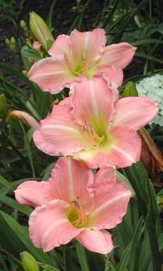Daylily 'Pink Attraction'