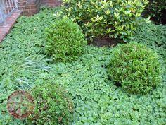 Der Bodendecker Waldsteinia bildet einen schönen grünen Teppich. - Lünen