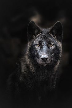 Black German Shepherds I must have a thing for black animals because I've got my second solid black German Shepherd, and now I'm in love with this beautiful black wolf. This beauty is spectacular! Wolf Images, Wolf Photos, Wolf Pictures, Wolf Spirit, My Spirit Animal, Beautiful Wolves, Animals Beautiful, Tier Wolf, Regard Animal