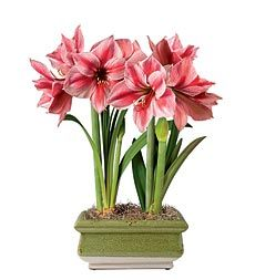 gervase-amaryllis-in-ceramic-planter