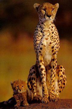 CheetahsSittingOnKnee-MomNCub.jpg (527×800)