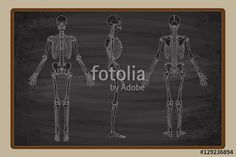 Vektör: Human Skeleton Blackboard Vector