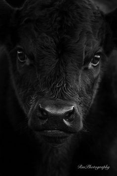 Live and let live. The sanctity of life is absolute. Go vegan if you think all creatures have the right not to be used as property, bought and sold, used and abused then slaughtered. Black Animals, Farm Animals, Animals And Pets, Cute Animals, Wild Animals, Beautiful Creatures, Animals Beautiful, Beautiful Eyes, Cute Cows