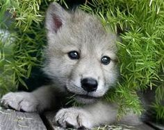 Baby wolf