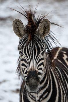 zebra portrait - null