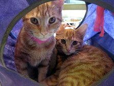 Lucy and Scarlet are 2 adorable orange tabby kittens, only 16 weeks old - adopt one or both! (104974ab) >> Go to Morris Animal Refuge, 1242 Lombard Street, Philadelphia PA to see more sweet faces that need a home.