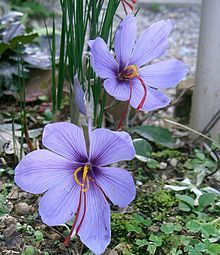 """""""The spice saffron is obtained from the stigmas of Crocus sativus, an autumn-blooming species."""""""