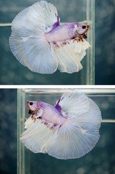Purple and Albino Betta Fish Picture for Mobile Phone Background Pretty Fish, Cool Fish, Beautiful Fish, Betta Fish Tank, Beta Fish, Fish Tanks, Colorful Fish, Tropical Fish, Betta Fish Types