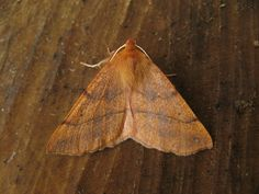 Feathered thorn - Week 35 - We had 26 moths in the trap.... No new moths.