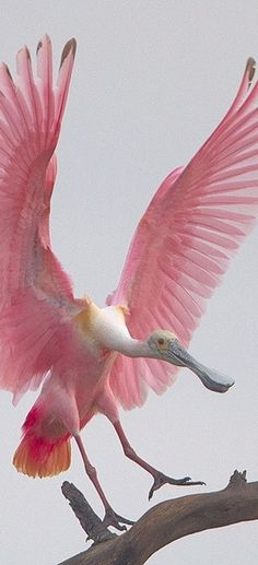 roseate spoonbill - the colours of this animal's feathers are a beautiful inspiration for perfect pink hair