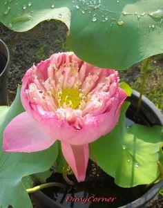 Bunga Lotus
