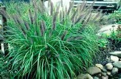 Black foxtail seedheads lighlight this variety. Beautiful deep green foliage turns yellow-orange in the fall. Portland Garden, Fountain Grass, Garden Landscaping, Bloom, Herbs, Landscape, Green, Plants, Beautiful