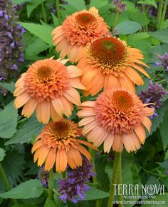 Echinacea 'Supreme Cantaloupe' - Absolutely the color of a ripe cantaloupe! Young flowers look like a brown eyed, double Gerbera and are excellent as a cut flower. As the flowers expand, they take on a more Echinacea look and last and last and last. There is no other Echinacea like this on the market.