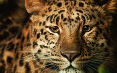 Animals_Lions__tigers__wild_cats_Leopard_033054_.jpg (2560×1600)