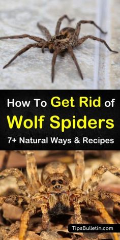 Houseplants That Filter the Air We Breathe We Have A Variety Of Natural Remedies For Removing Wolf Spiders From Inside Your House And Around Your Home. Our Tips Provide Answers On How To Keep Spiders Out As Well As How To Get Rid Of Them. Plants That Repel Spiders, Get Rid Of Spiders, Spider Plants, Natural Spider Repellant, How To Get Rid, How To Remove, Spider Species, Wolf Spider, Glue Traps
