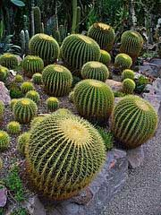 HOW TO;  Growing the Golden Barrel Cactus on http://www.hortmag.com