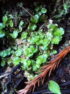 Meet a Tiny Wonder of the Forest - Lunularia cruciata. http://blog.savetheredwoods.org