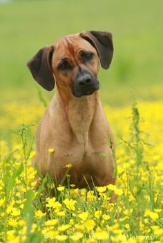 Rhodesian Ridgeback. One of my all time favorite dogs.
