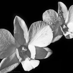 White Orchid Photo by JulieMagersSoulen