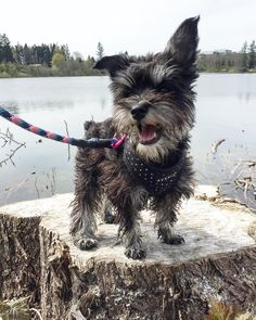"""95 Likes, 6 Comments - Charlie Chew   Mini Schnauzer♀ (@charliexchew) on Instagram: """"Tongue Out Tuesday """""""