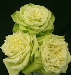 Garden Rose Supergreen