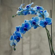 -Guzide- Special Blue Orchid by RAtakol