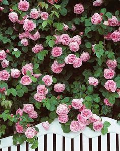Raindrops on roses and whiskers on kittens  These are a few of my favorite things!   @hgtv #constancespryroses