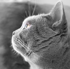 British Shorthair Cats Lilac