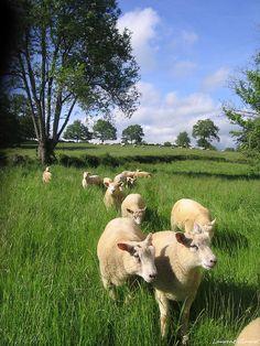 Photo des moutons dans un champs de la combraille en auvergne. by combraille, via Flickr