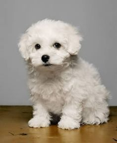 12 Best Bolognese Images On Pinterest Bolognese Puppies Cute Baby