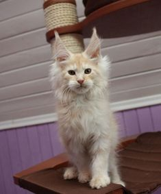 New!!!elite Maine Coon Kitten From Europe With Excellent Pedigree. Male. Korol in - Hoobly Classifieds http://www.mainecoonguide.com/characteristics/